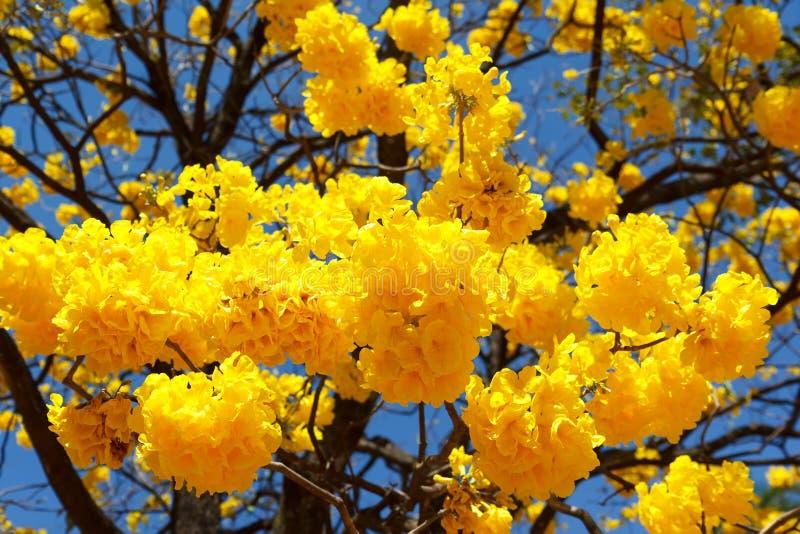 Gele bloemen van aurea van boomtabebuia stock foto's