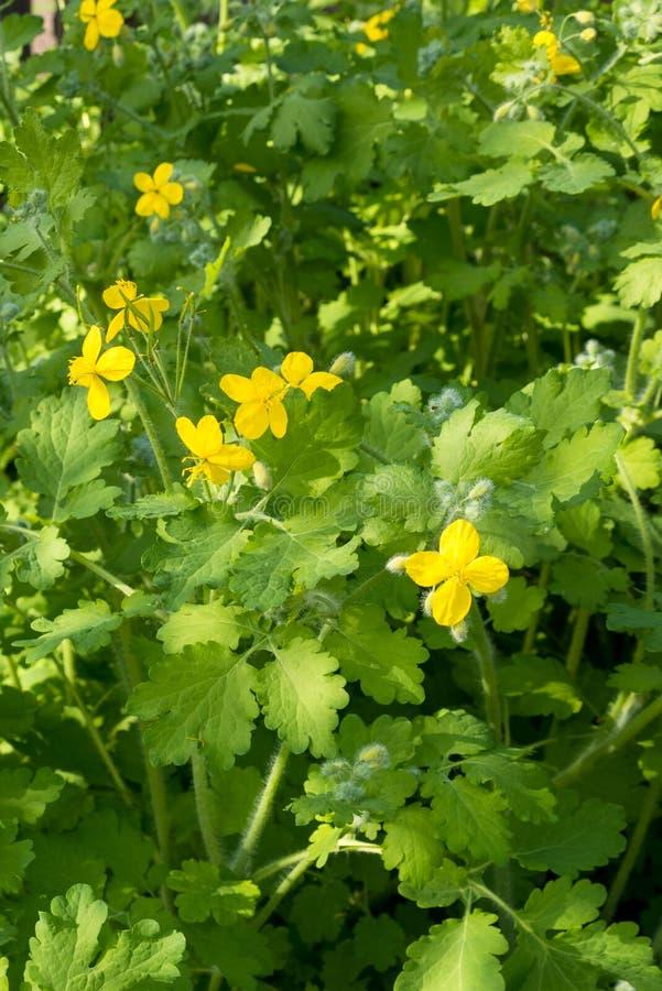 Gele bloemen van celandine Chelidonium onder groen gebladerte op een warme zonnige dag Geneeskrachtige installatie met het helen  royalty-vrije stock foto's