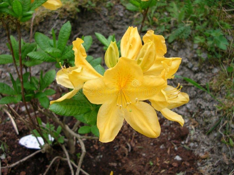 Gele bloemen van een Azalea royalty-vrije stock fotografie