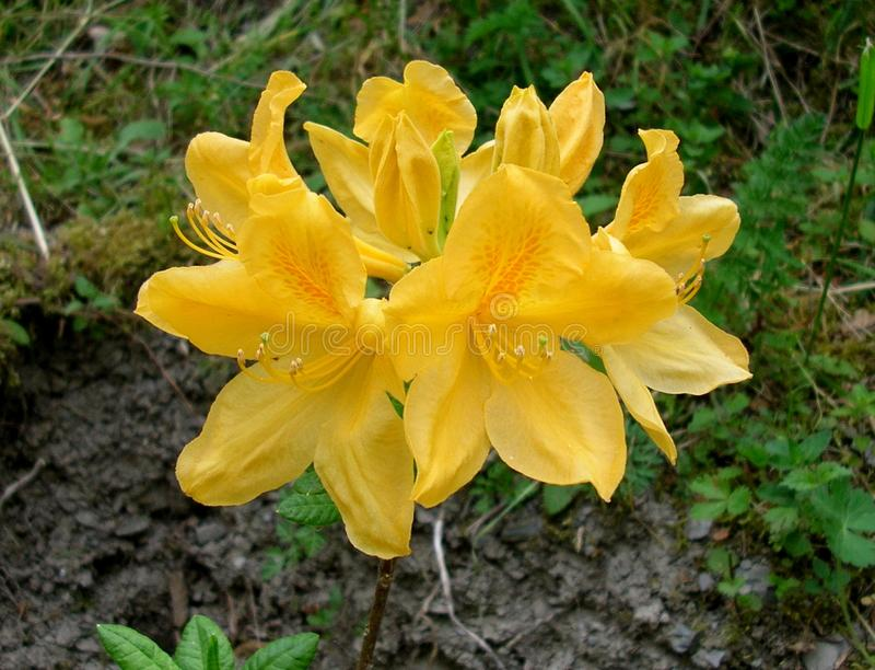 Gele bloemen van een Azalea stock afbeeldingen