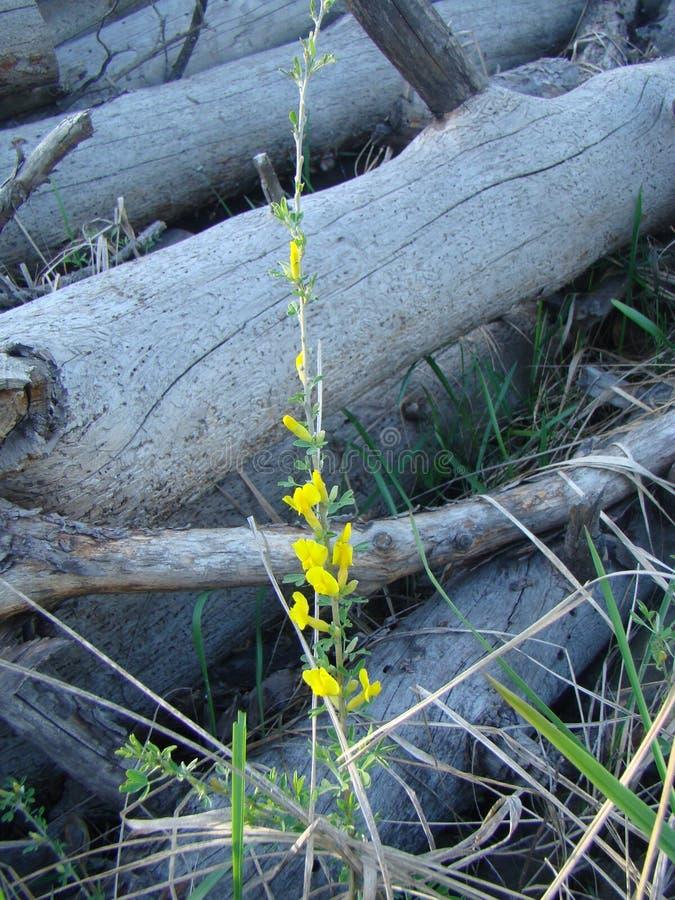 Gele bloemen van gansuien op de achtergrond van groene gras en bladeren stock fotografie