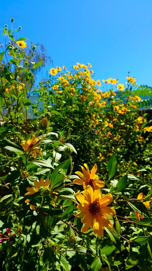 Gele bloemen van mijn tuin royalty-vrije stock afbeelding
