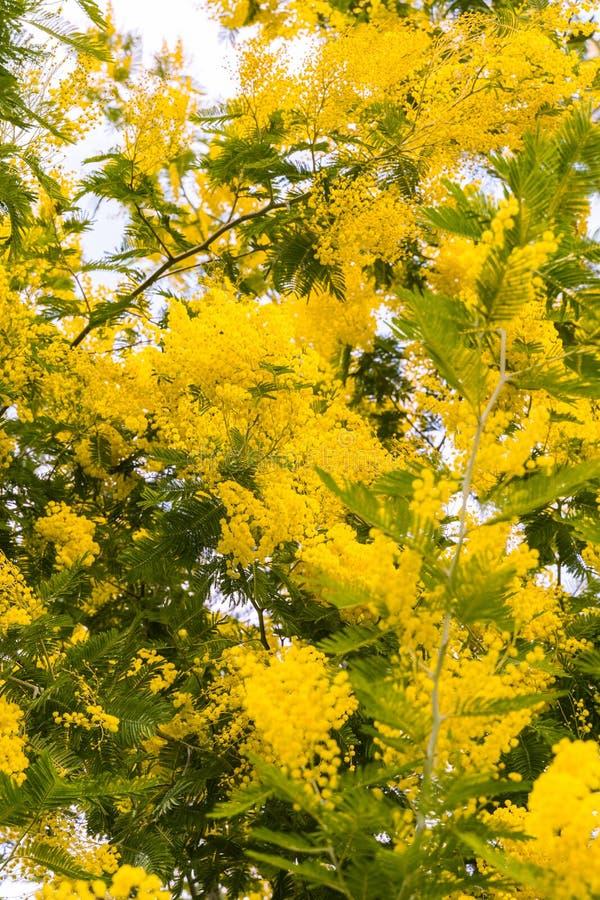 Gele Bloemen van mimosastruik, één zonnige dag stock afbeeldingen