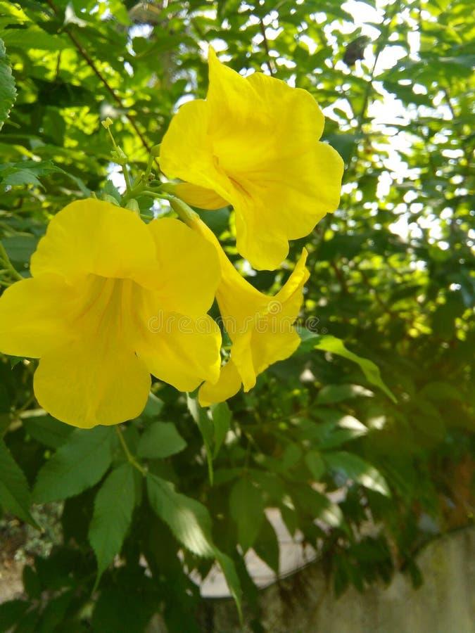 Gele bloemenboom royalty-vrije stock foto