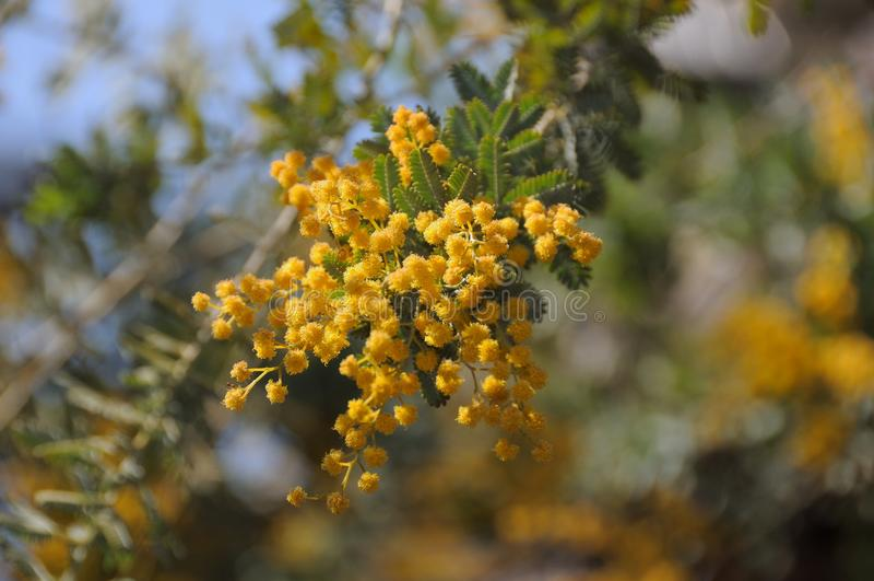 Gele bloemtak royalty-vrije stock foto