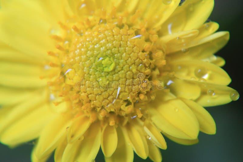Gele bloemtextuur, macropatroon, Mooie foto van een bloem in macro met dauw of waterdalingen op het in de lente in aard stock foto's