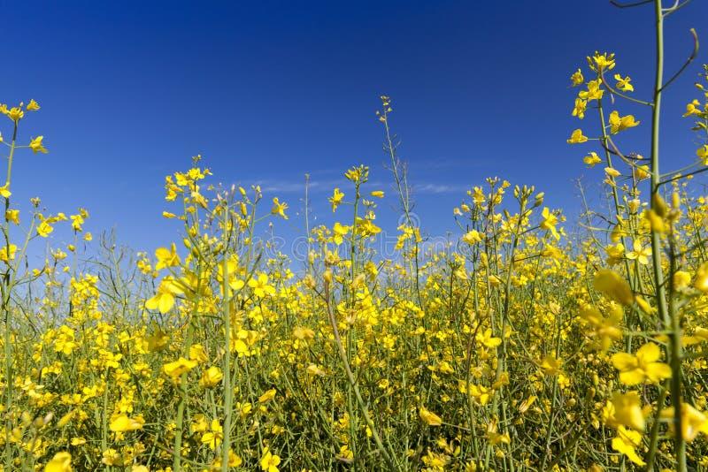 Gele bloemverkrachting stock afbeelding