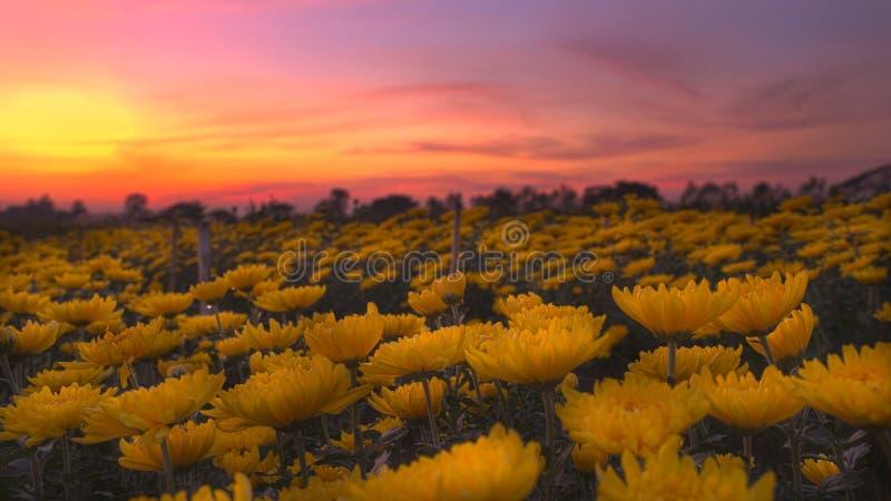 Gele bloesemchrysant royalty-vrije stock afbeelding