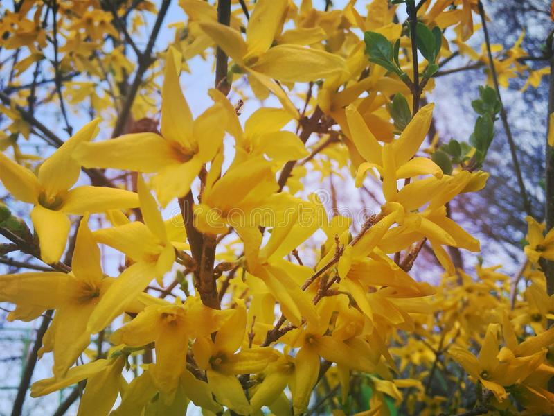 Gele bloesems stock afbeelding