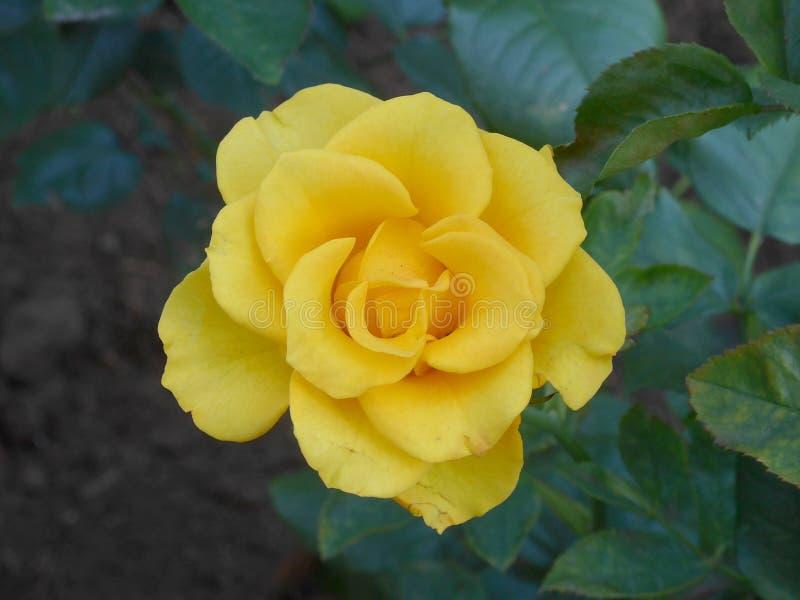 Gele Blossming nam in de tuin toe stock afbeeldingen