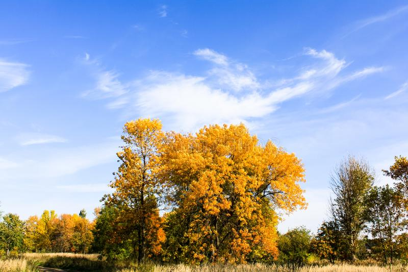 Gele bomen tegen blauwe hemel stock afbeelding