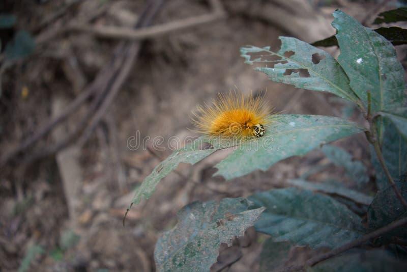 Gele bontdietaturana als brand wordt bekend caterpillarr stock foto's