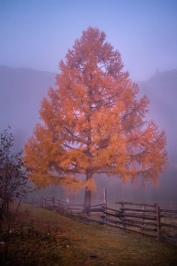 Gele boom in het mistige bos in daling royalty-vrije stock afbeeldingen