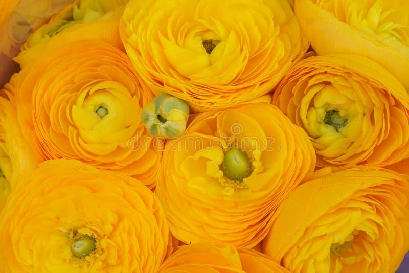 Gele boterbloemen hoogste mening, close-up, natuurlijke achtergrond stock foto