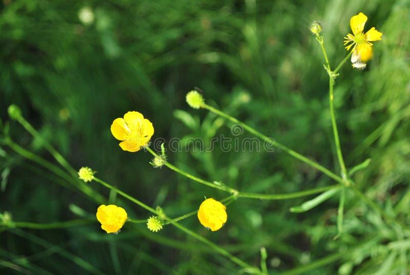 Gele boterbloemenclose-up, groene zachte bokehachtergrond van het weidegras royalty-vrije stock fotografie