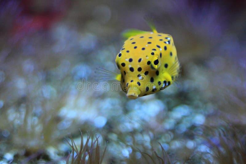 Gele boxfish stock foto
