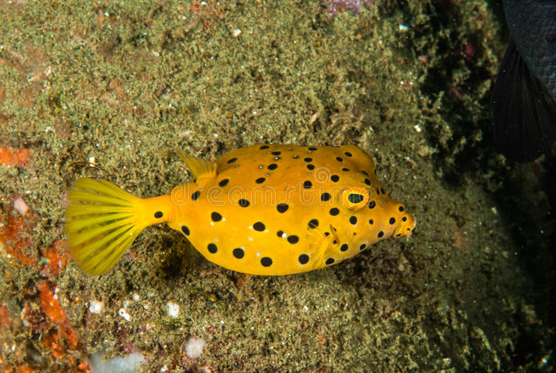 Gele boxfishjongere in Ambon, Maluku, de onderwaterfoto van Indonesië royalty-vrije stock afbeelding