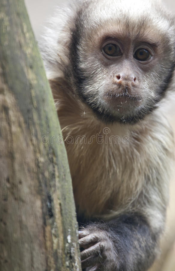 Gele Breasted-Capuchin stock foto's