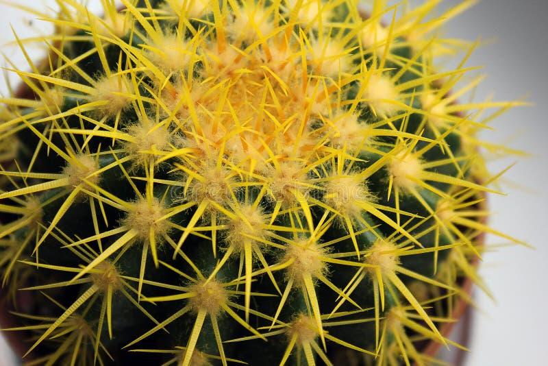 Gele Cactus Dichte Omhooggaand Installatie in het huis stock foto's