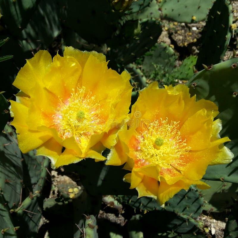 Gele cactusbloesem stock foto's