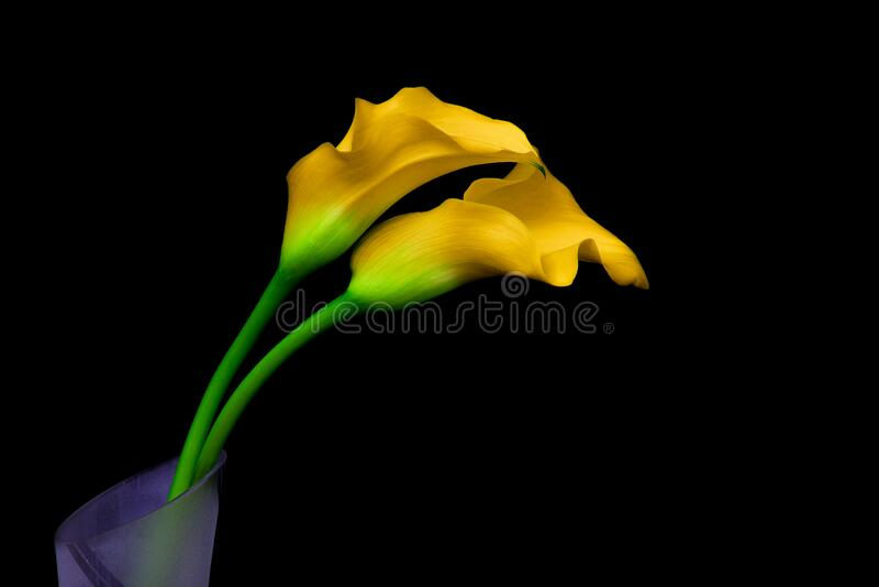 Gele calla lilies op zwarte achtergrond stock foto