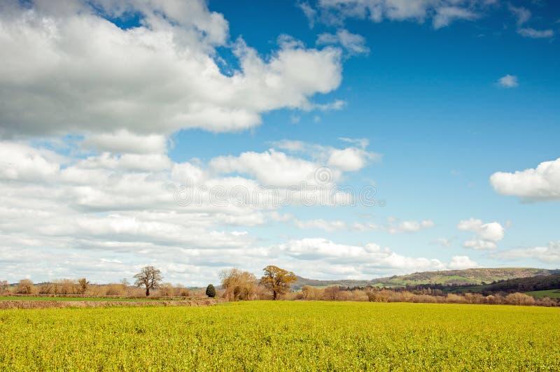 Gele canolagewassen en bloemen in het Engelse platteland stock foto