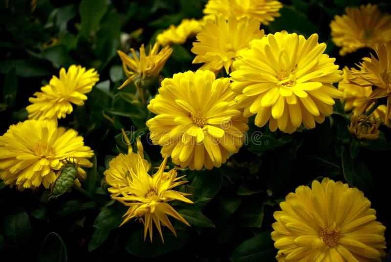 Gele Chrysant int. het gebied stock fotografie