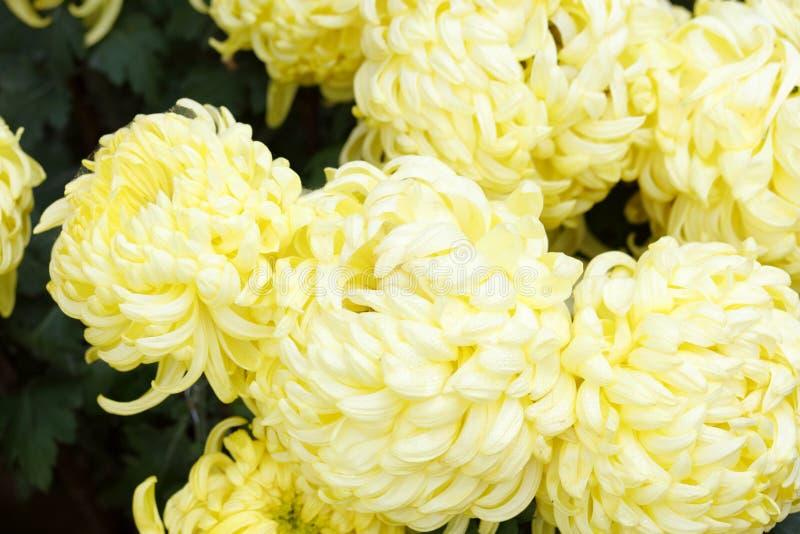 Gele chrysant, rgb adobe royalty-vrije stock foto's