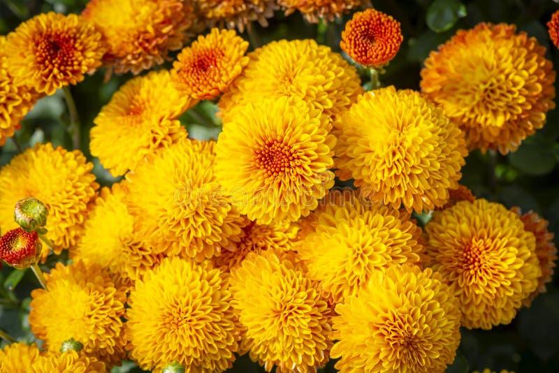 Gele chrysantenbloemen stock foto's