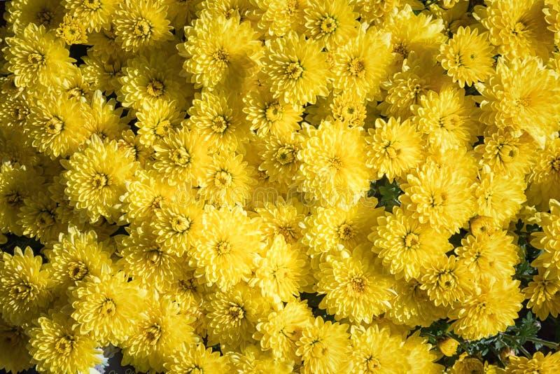 Gele chrysantenbloemen Mooie bloemachtergrond Autumn Time stock foto's