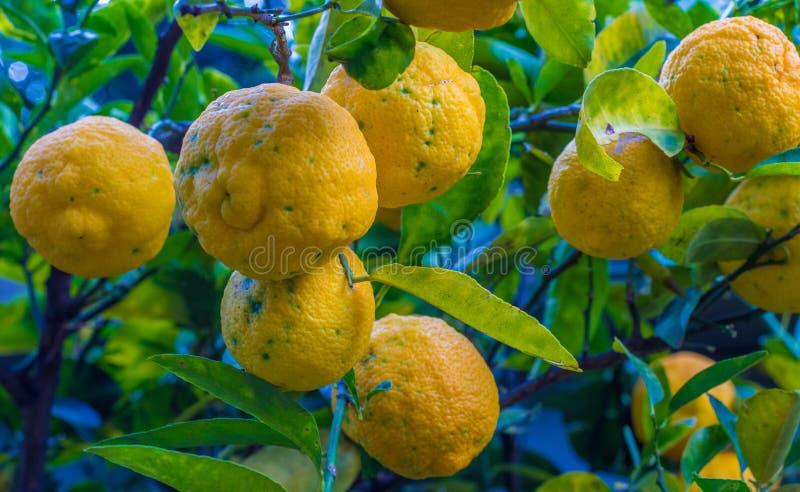 Gele citroenen omhoog dicht en geïsoleerd royalty-vrije stock afbeeldingen