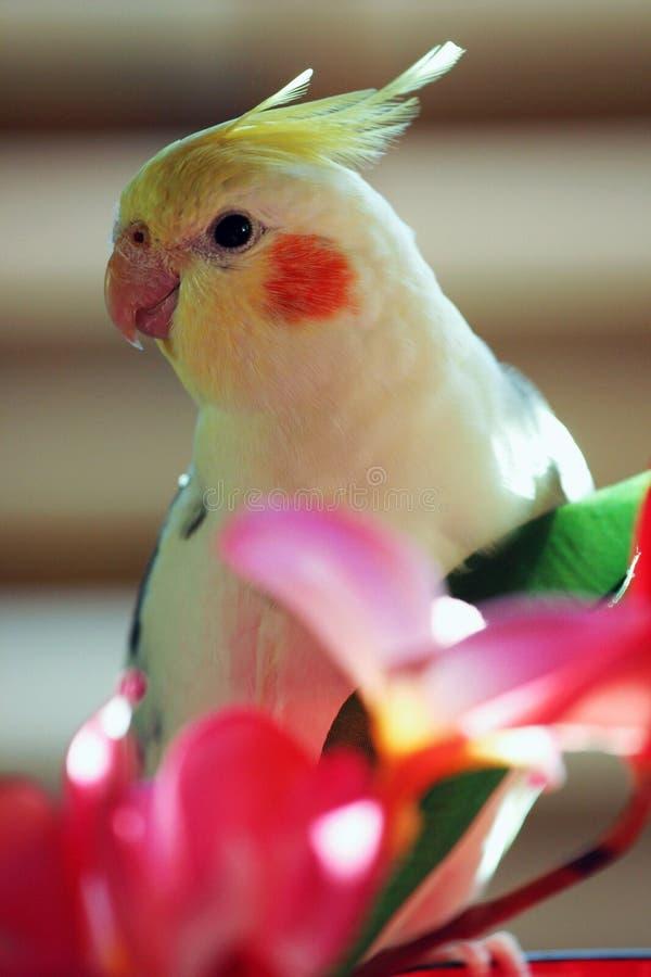 Gele cockatiel, papegaai stock afbeeldingen