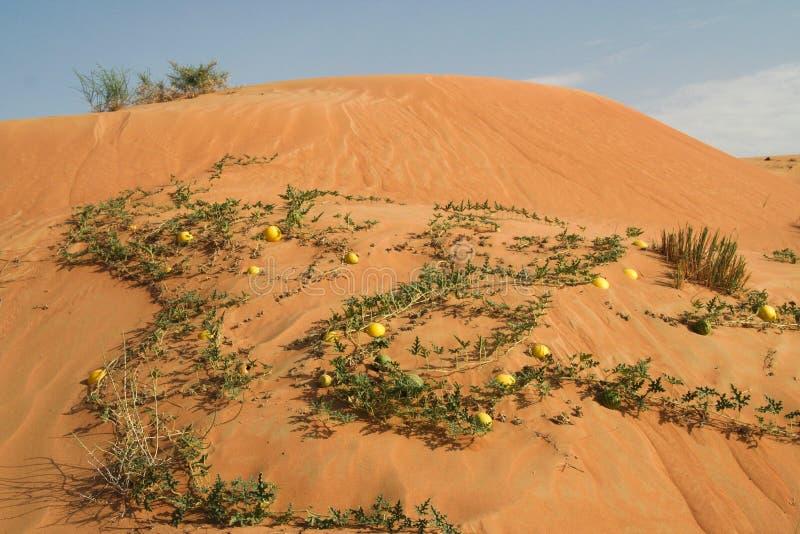 Gele colocynthis van bitterappelencitrullus in rood zand van de woestijn van Oman stock afbeelding