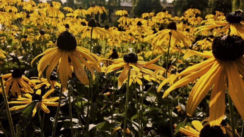 Gele coneflower stock fotografie