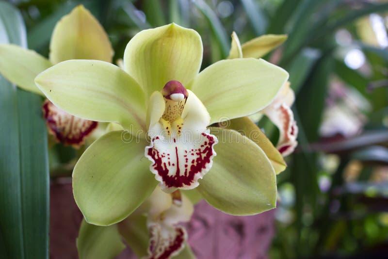 gele cymbidium orchidee in pot bloem en stam stock foto afbeelding bestaande uit rood. Black Bedroom Furniture Sets. Home Design Ideas