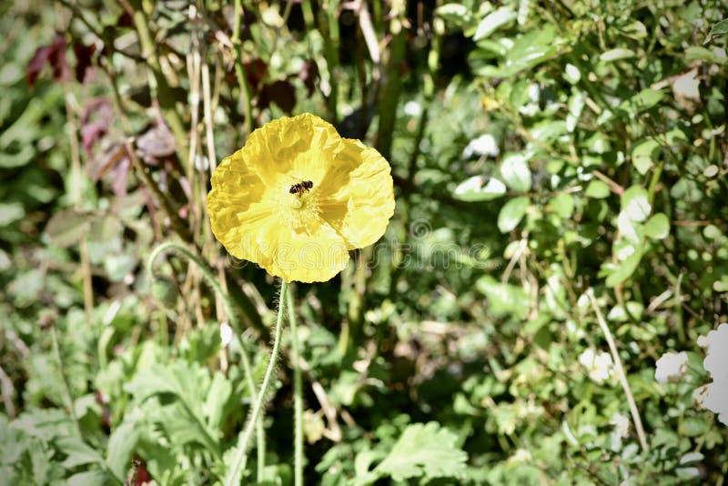 Gele Dahlia met een wesp, 2 royalty-vrije stock afbeelding