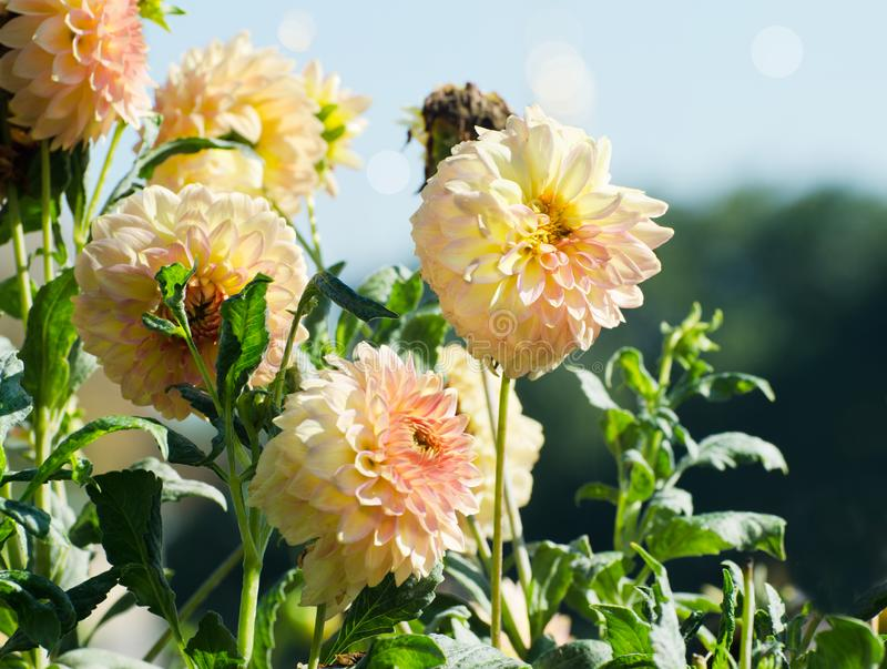 Gele Dahlia'sbloemen in Autumn Garden royalty-vrije stock foto