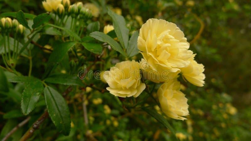 Gele Dame Banks Roses stock foto's