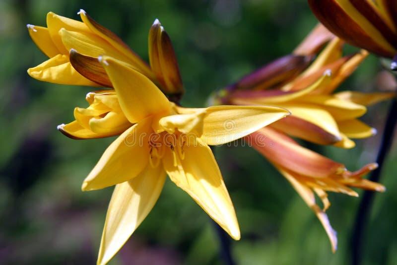 Gele Daylilies stock afbeelding