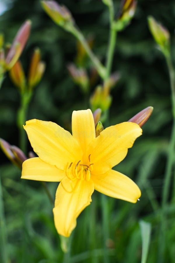Gele Daylily-bloem op groene achtergrond royalty-vrije stock afbeelding