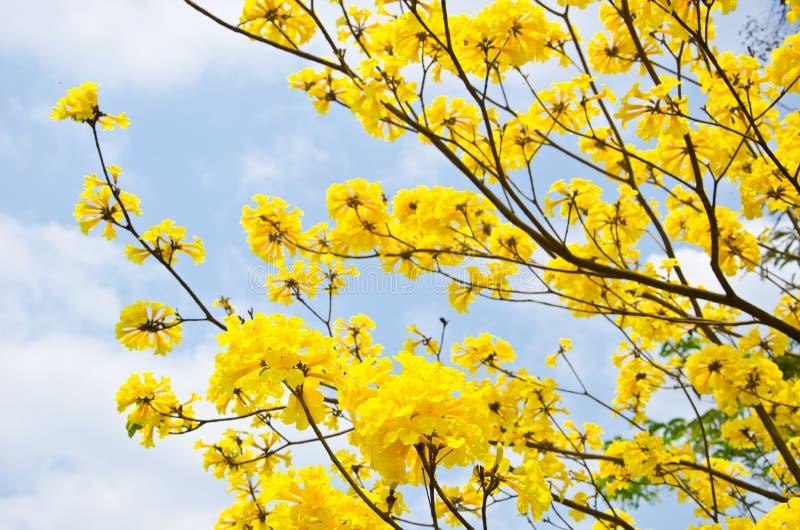 Download Gele De Bloemenbloesem Van Tabebuiachrysotricha Stock Foto - Afbeelding bestaande uit vers, schoonheid: 39116704
