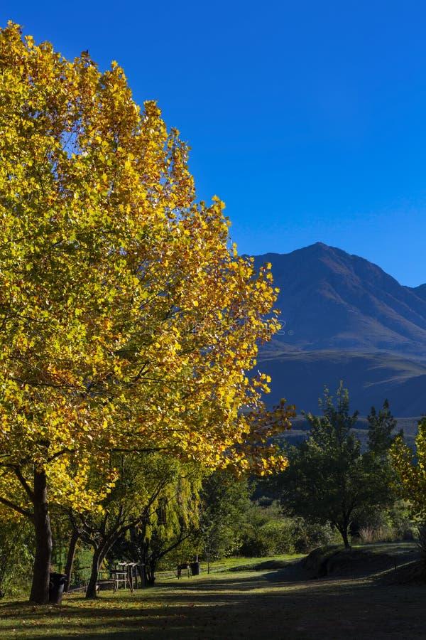 Gele de herfst gekleurde boom en blauwe berg stock afbeelding