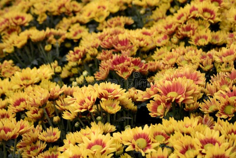 Gele de herfstbloem in de tuin Een boeket van chrysanten royalty-vrije stock afbeelding