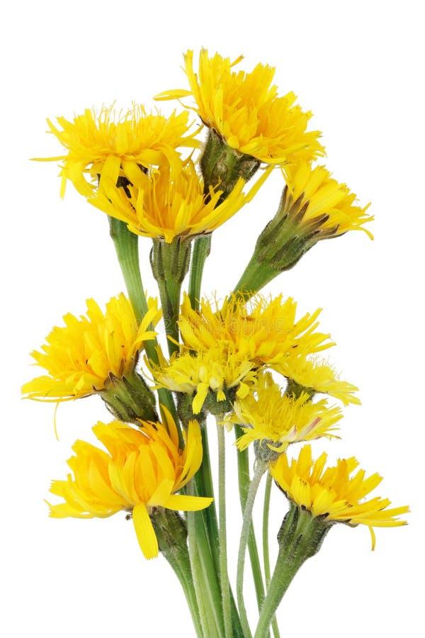 Gele de lente bosbloemen gelijkend op paardebloemen stock fotografie