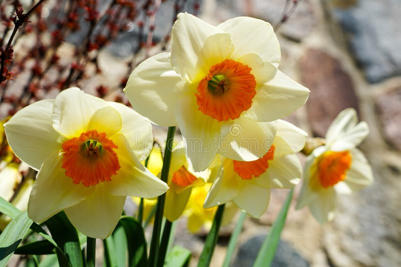 Gele de lentebloemen van narcissengele narcissen in tuin met de heldere stralen van de backlightzon royalty-vrije stock foto