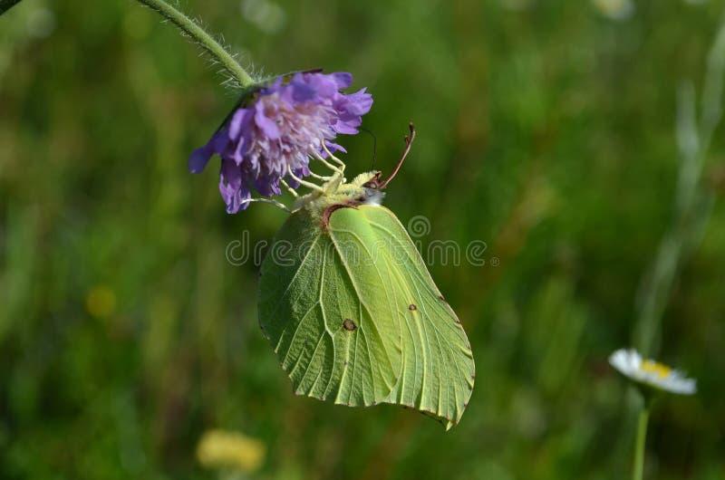 Gele de tijd van de vlinderlente stock afbeeldingen