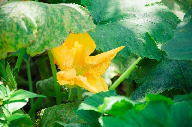 Gele dichte omhooggaand van de pompoenbloem op een achtergrond van groene bladeren royalty-vrije stock afbeeldingen