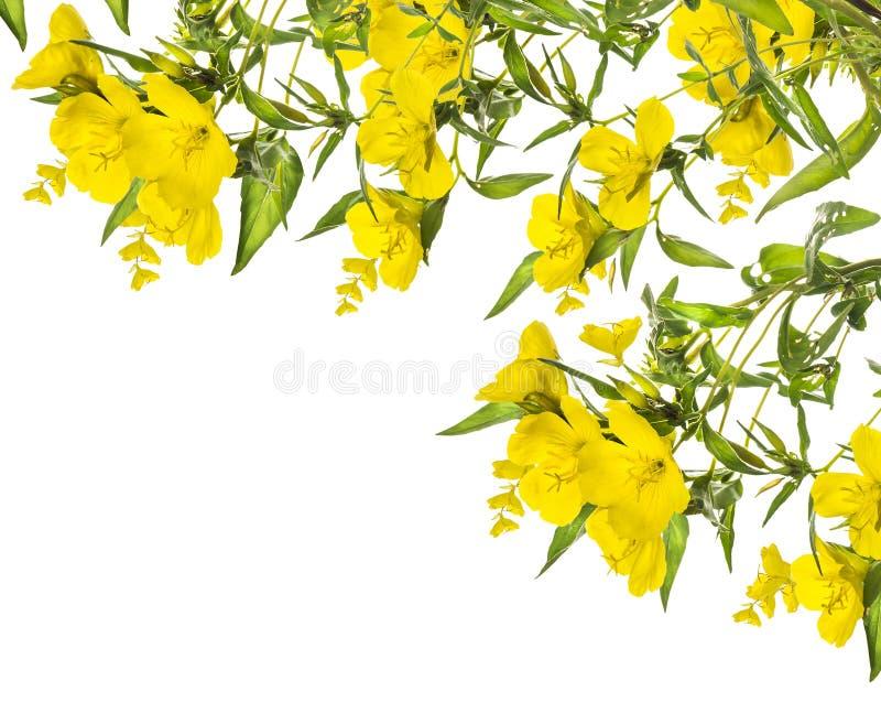 Gele die bloemen, hoekkader, op wit wordt geïsoleerd stock fotografie