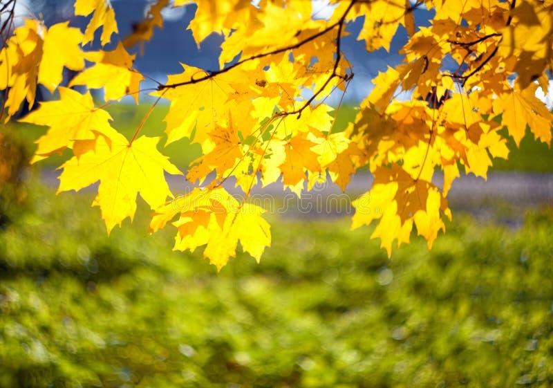 Gele die de herfstbladeren van een esdoorn op een boomtak door de heldere zon op een vage achtergrond van gras wordt aangestoken royalty-vrije stock fotografie