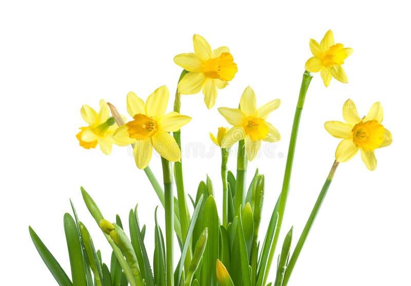 De Bloemen van de lente - Geïsoleerdel Gele narcissen royalty-vrije stock foto